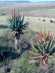 Aloe Ferox between Cofimvaba and Ngcobo