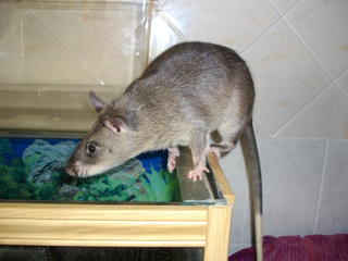 African Giant Pouched Rat from Wikimedia